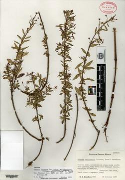 Lopezia racemosa image