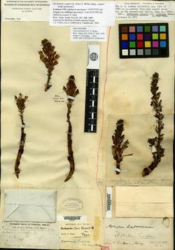 Orobanche cooperi subsp. cooperi image