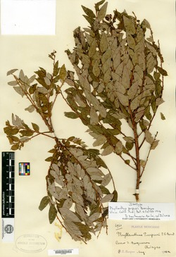 Image of Phyllanthus purpusii