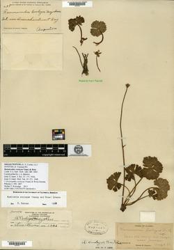 Image of Ranunculus cooleyae
