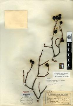 Image of Crataegus brunetiana