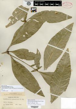 Randia grandifolia image