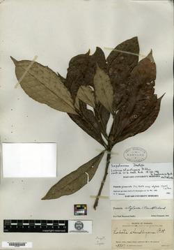 Pouteria glomerata image