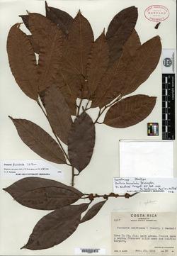 Pouteria foveolata image