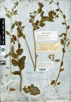 Image of Solanum californicum