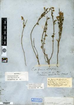 Image of Solanum genistoides