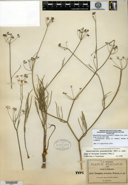 Image of Eulophus ternatus