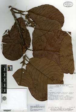 Sloanea eugenifloresiae image