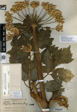 Image of Angelica laurentiana
