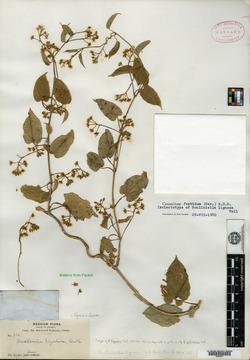 Image of Telminostelma foetidum