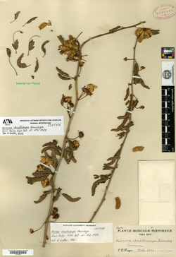 Image of Mimosa chaetocarpa