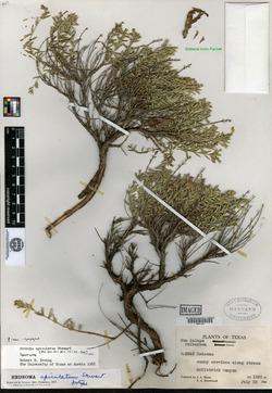 Image of Hedeoma apiculatum