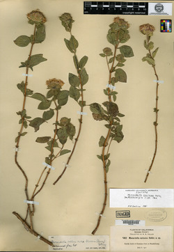 Image of Monardella coriacea