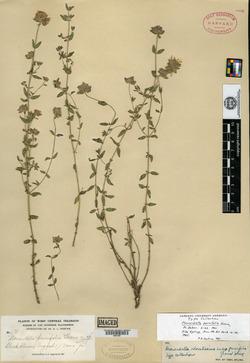 Image of Monardella parvifolia