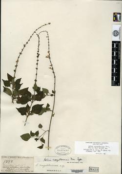 Image of Salvia mazatlanensis