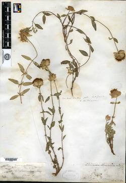Monardella odoratissima subsp. odoratissima image