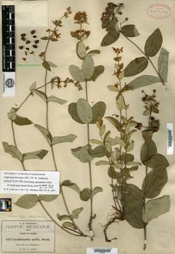 Image of Aspicarpa lanata