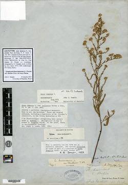 Symphyotrichum dumosum var. strictior image
