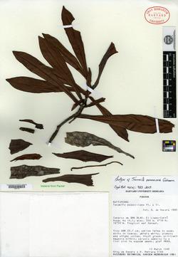 Image of Tovomita panamaea