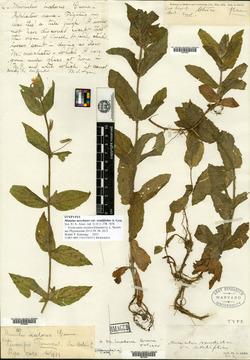 Image of Erythranthe inodora
