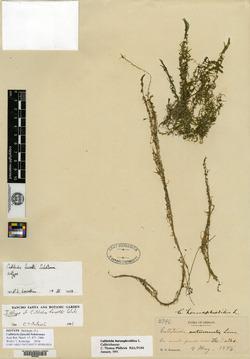 Callitriche fassettii image