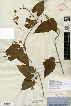 Image of Gonolobus reticulatus
