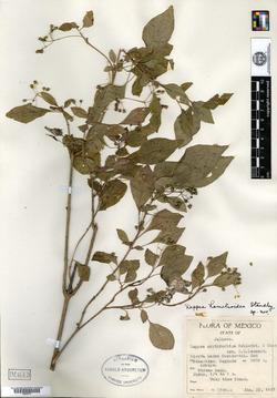 Image of Deppea hamelioides