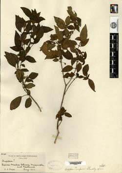 Image of Deppea purpusii