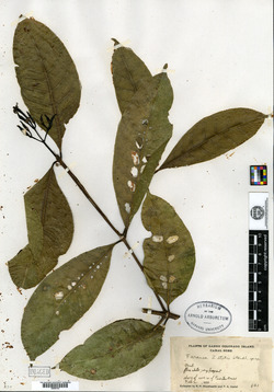 Faramea occidentalis image