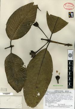 Faramea papirifolia image