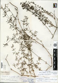 Image of Galium arcuatum