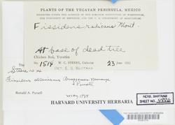 Fissidens santa-clarensis image