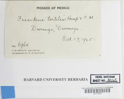 Fissidens crispus image