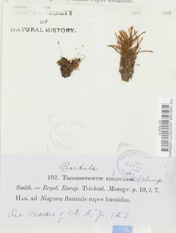 Didymodon rigidulus image
