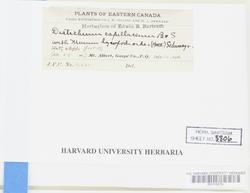 Distichium capillaceum image