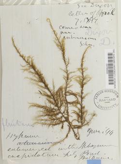 Warnstorfia fluitans image