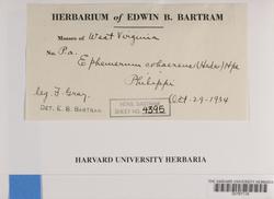 Ephemerum cohaerens image