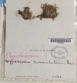 Rhynchostegium serrulatum image