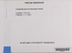 Homalothecium nuttallii image