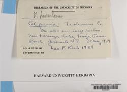 Grimmia hamulosa image