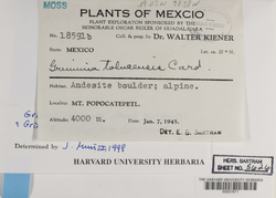 Grimmia elongata image