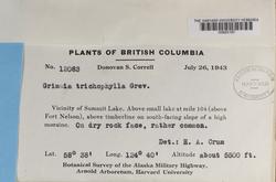 Grimmia trichophylla image