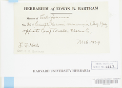 Homalothecium aureum image