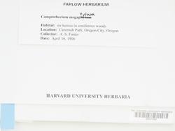 Homalothecium megaptilum image