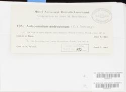 Aulacomnium androgynum image