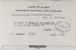 Brachythecium calcareum image