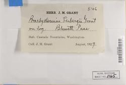 Brachytheciastrum leibergii image
