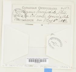 Rosulabryum canariense image