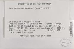 Brachythecium albicans image