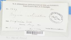 Ptychostomum inclinatum image